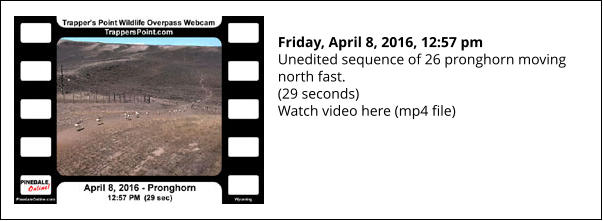 Friday, April 8, 2016, 12:57 pm Unedited sequence of 26 pronghorn moving north fast. (29 seconds) Watch video here (mp4 file)