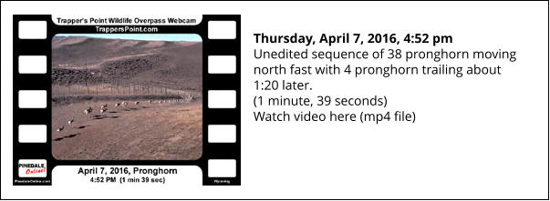 Thursday, April 7, 2016, 4:52 pm Unedited sequence of 38 pronghorn moving north fast with 4 pronghorn trailing about 1:20 later. (1 minute, 39 seconds) Watch video here (mp4 file)