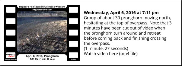 Wednesday, April 6, 2016 at 7:11 pm  Group of about 30 pronghorn moving north, hesitating at the top of overpass. Note that 3 minutes have been cut out of video when the pronghorn turn around and retreat before coming back and finishing crossing the overpass. (1 minute, 27 seconds) Watch video here (mp4 file)